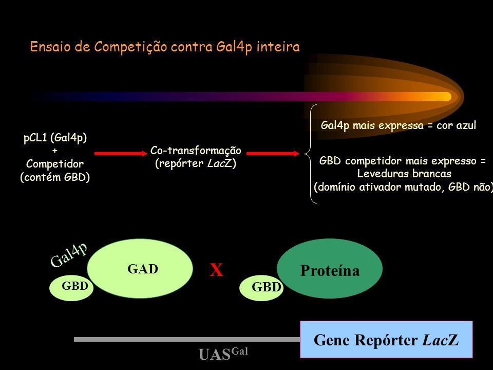 Ensaio de Competição contra Gal4p inteira Gal4p mais expressa = cor azul pCL1 (Gal4p) + Competidor (contém GBD) Co-transformação (repórter LacZ) GBD c