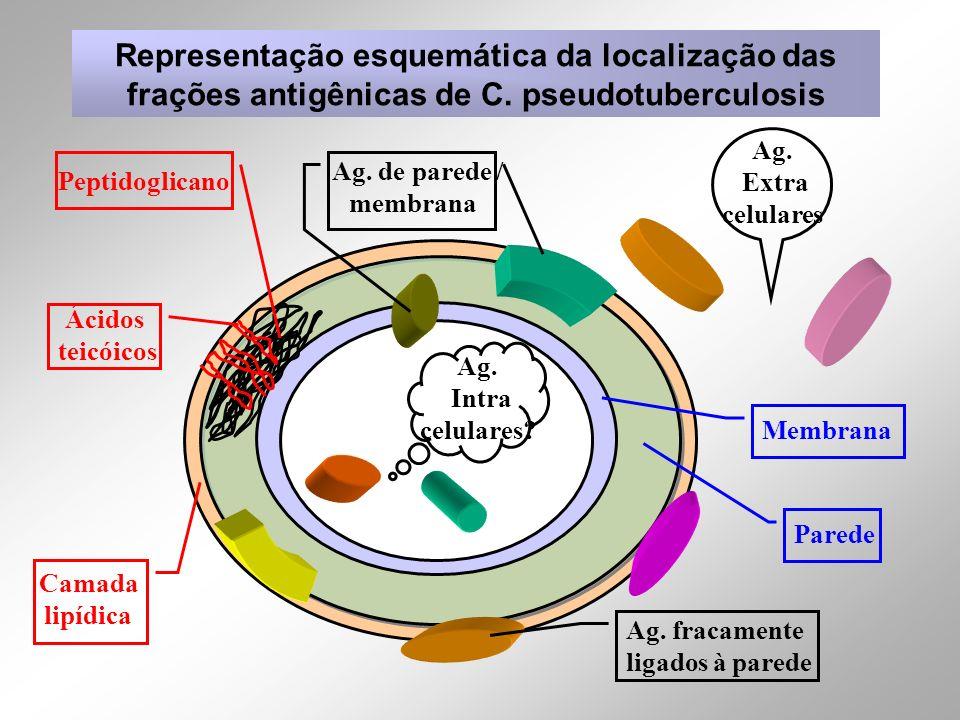 Membrana Parede Ag. Extra celulares Ag. Intra celulares? Ag. fracamente ligados à parede Ag. de parede / membrana Representação esquemática da localiz