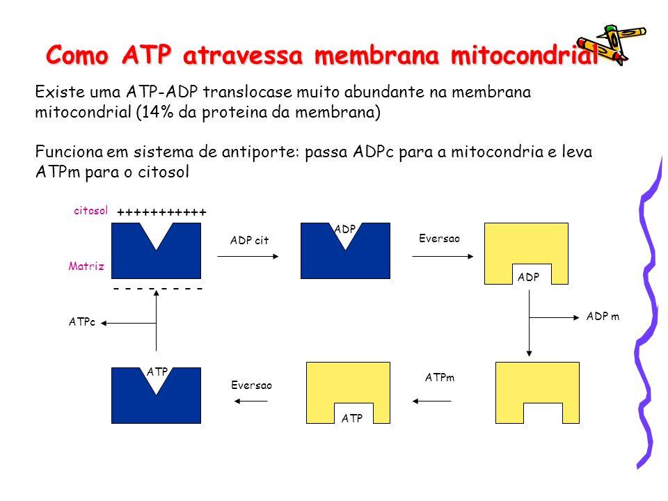 Como ATP atravessa membrana mitocondrial Existe uma ATP-ADP translocase muito abundante na membrana mitocondrial (14% da proteina da membrana) Funcion