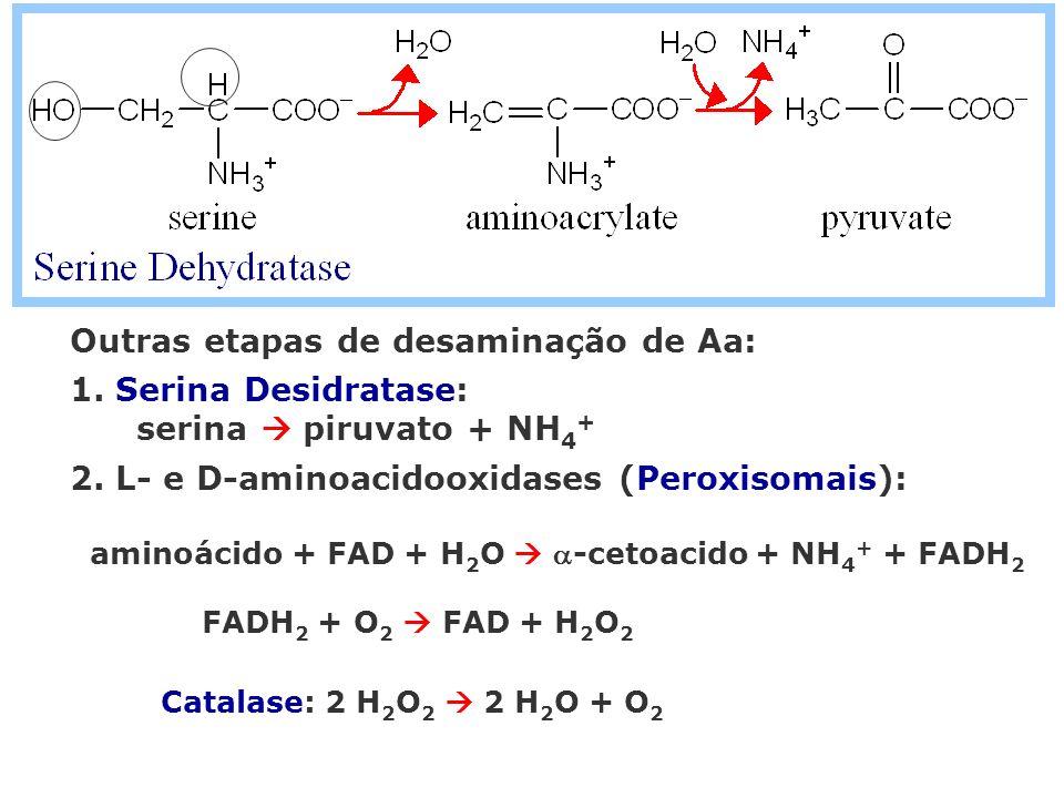 Outras etapas de desaminação de Aa: 1. Serina Desidratase: serina piruvato + NH 4 + 2. L- e D-aminoacidooxidases (Peroxisomais): aminoácido + FAD + H