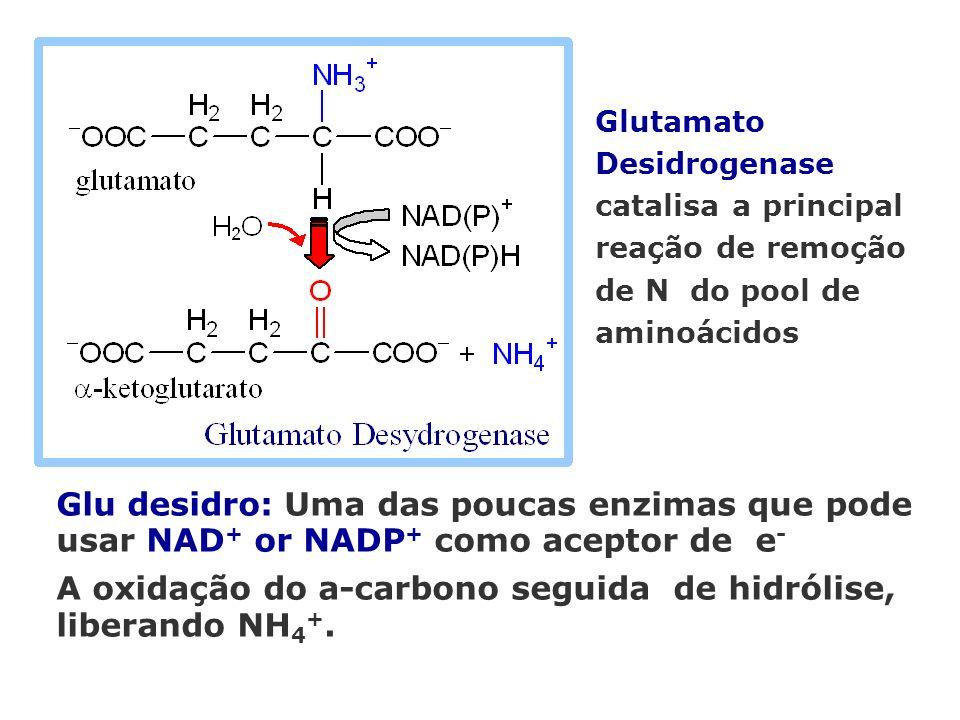 Glu desidro: Uma das poucas enzimas que pode usar NAD + or NADP + como aceptor de e - A oxidação do a-carbono seguida de hidrólise, liberando NH 4 +.