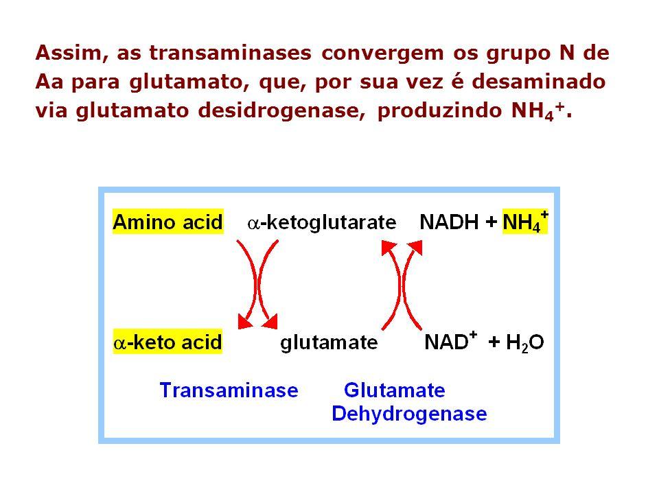 Assim, as transaminases convergem os grupo N de Aa para glutamato, que, por sua vez é desaminado via glutamato desidrogenase, produzindo NH 4 +.