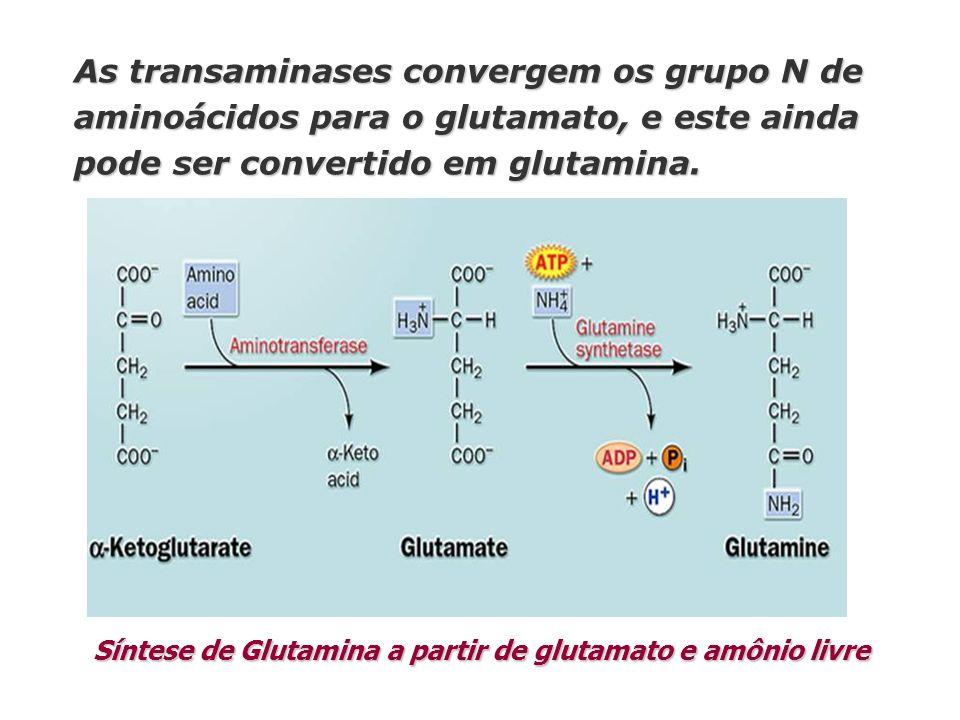 Síntese de Glutamina a partir de glutamato e amônio livre As transaminases convergem os grupo N de aminoácidos para o glutamato, e este ainda pode ser