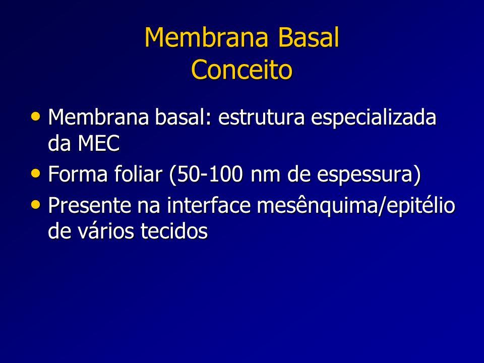 Membrana Basal Conceito Membrana basal: estrutura especializada da MEC Membrana basal: estrutura especializada da MEC Forma foliar (50-100 nm de espes