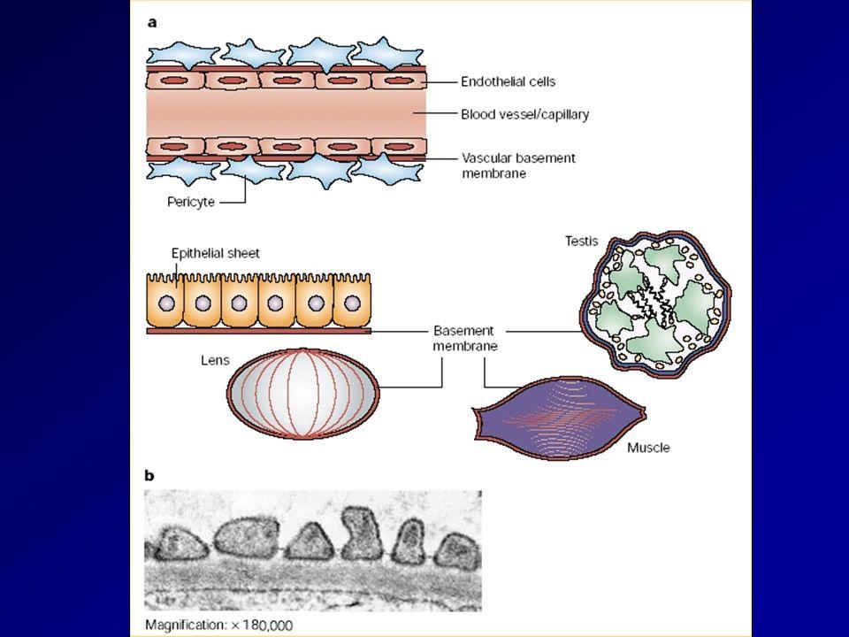Funções Suporte estrutural e aderência celular Suporte estrutural e aderência celular Compartimentalizar os tecidos Compartimentalizar os tecidos Regular comportamento celular Regular comportamento celular –Crescimento –Diferenciação –Migração Desenvolvimento/reparo tecidos Desenvolvimento/reparo tecidos