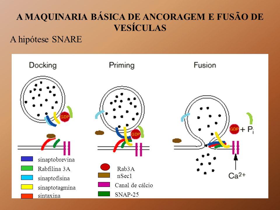 A MAQUINARIA BÁSICA DE ANCORAGEM E FUSÃO DE VESÍCULAS A hipótese SNARE Rab3A nSec1 Canal de cálcio SNAP-25 sinaptobrevina Rabfilina 3A sinaptofisina s