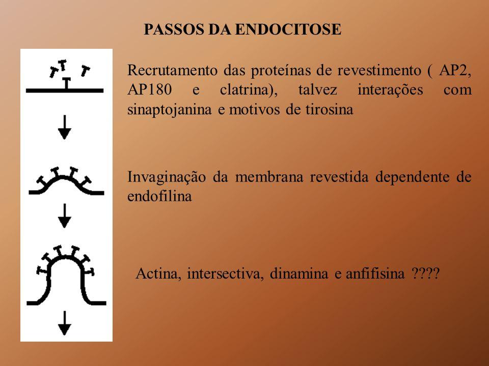 PASSOS DA ENDOCITOSE Recrutamento das proteínas de revestimento ( AP2, AP180 e clatrina), talvez interações com sinaptojanina e motivos de tirosina In
