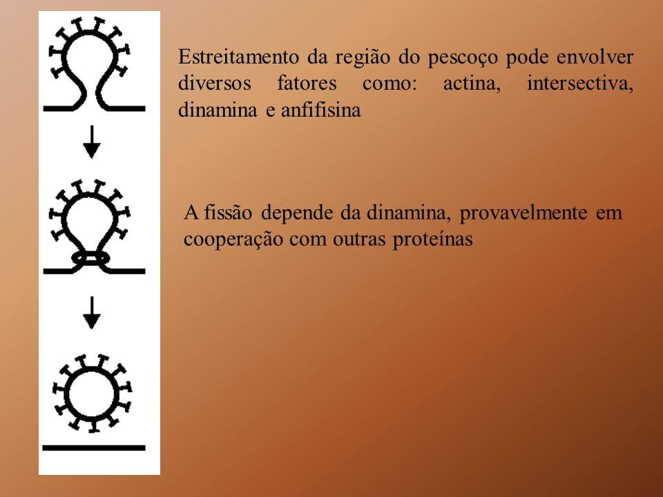 Estreitamento da região do pescoço pode envolver diversos fatores como: actina, intersectiva, dinamina e anfifisina A fissão depende da dinamina, prov