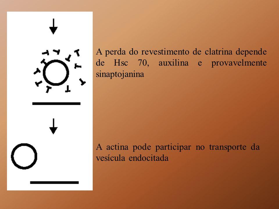 A perda do revestimento de clatrina depende de Hsc 70, auxilina e provavelmente sinaptojanina A actina pode participar no transporte da vesícula endoc