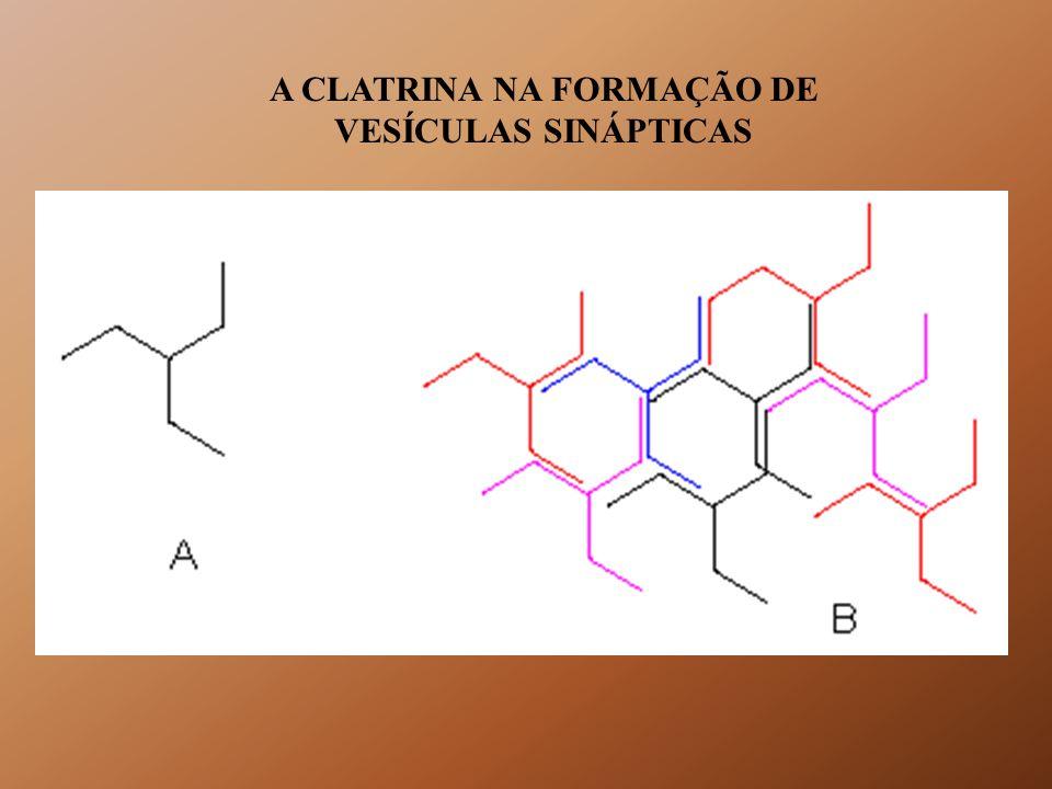 O COMPLEXO ADAPTADOR DE CLATRINA (AP)