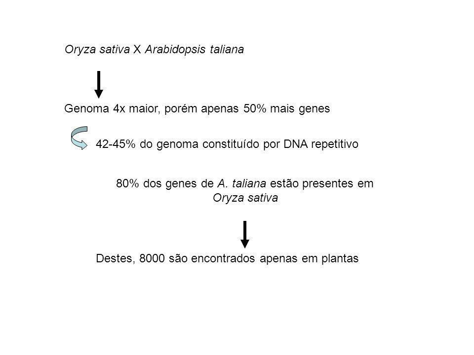 Oryza sativa X Arabidopsis taliana Genoma 4x maior, porém apenas 50% mais genes 42-45% do genoma constituído por DNA repetitivo 80% dos genes de A. ta