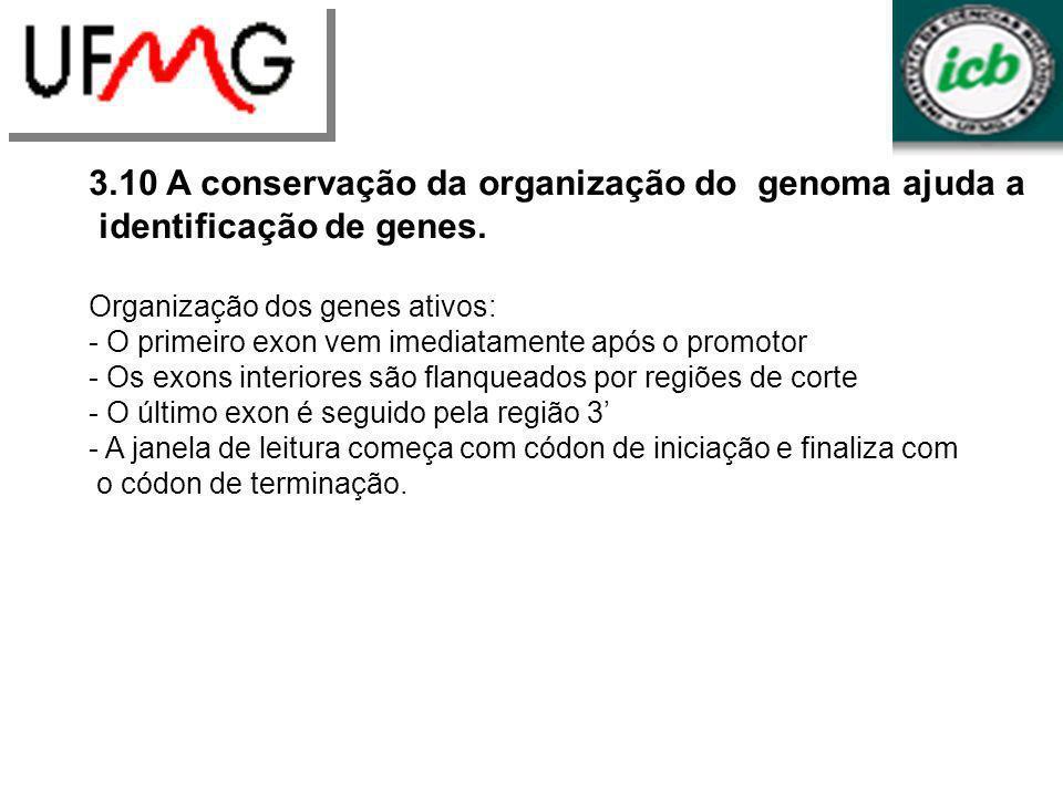 LGCMURLGA 3.10 A conservação da organização do genoma ajuda a identificação de genes. Organização dos genes ativos: - O primeiro exon vem imediatament