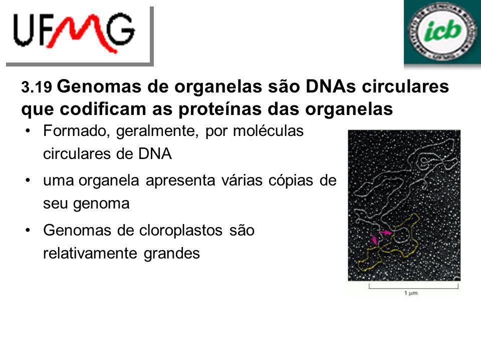 Formado, geralmente, por moléculas circulares de DNA uma organela apresenta várias cópias de seu genoma Genomas de cloroplastos são relativamente gran
