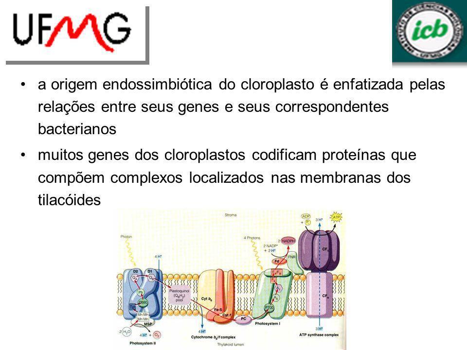 a origem endossimbiótica do cloroplasto é enfatizada pelas relações entre seus genes e seus correspondentes bacterianos muitos genes dos cloroplastos