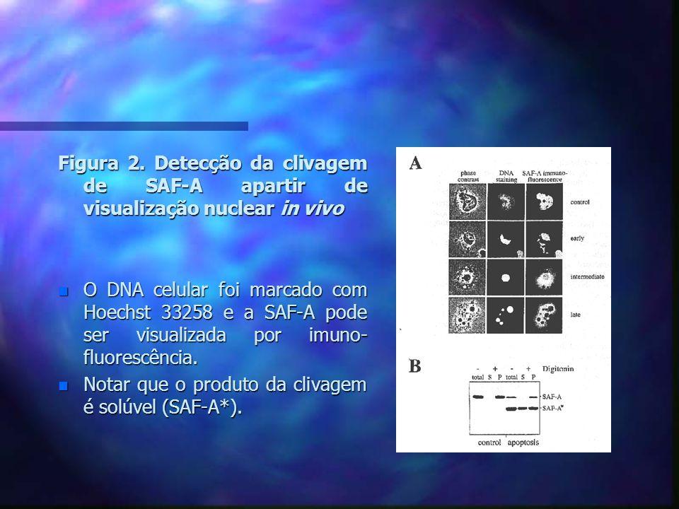 Figura 3.A clivagem de SAF-A não altera sua associação com particulas hnRNP.