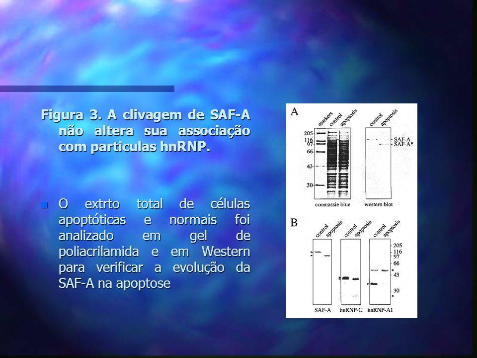 Figura 4.A porção amino- terminal da SAF-A possui um domínio de ligação para SAR DNA.