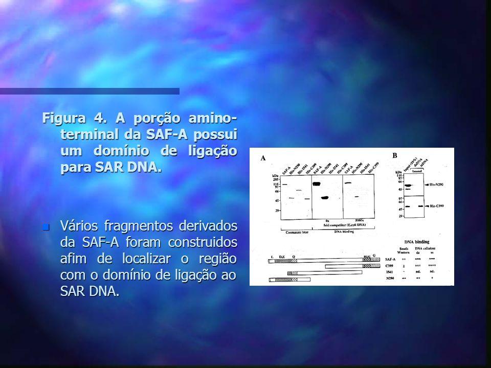 Figura 5.Mapeamento do domínio de ligação ao SAR DNA da SAF-A.