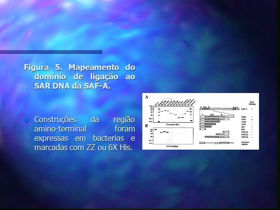 Figura 7.A sequencia espaçada de leucina é essencial para atividade de ligação ao DNA.