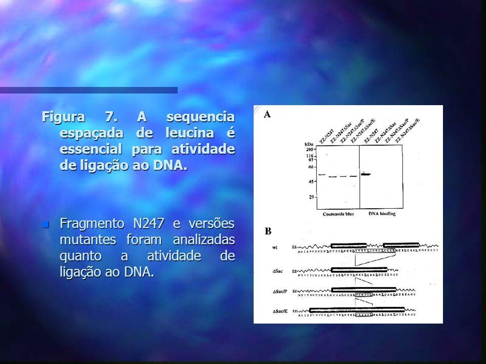 Discussão n A SAF-A parece ser a proteína ligante ao SAR mais abundante no núcleo.