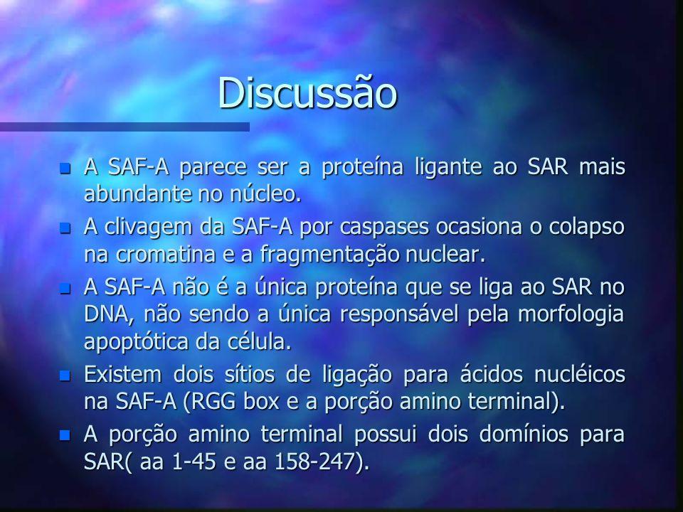 Micrografia eletrônica da interação SAF-A com SARs do DNA