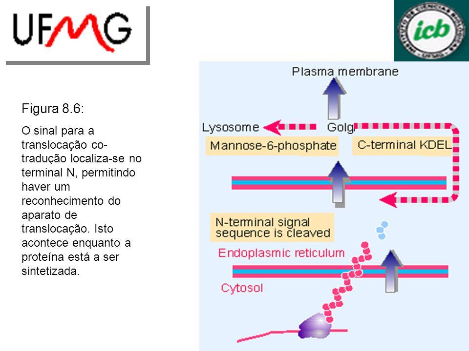 Figura 8.6: O sinal para a translocação co- tradução localiza-se no terminal N, permitindo haver um reconhecimento do aparato de translocação. Isto ac