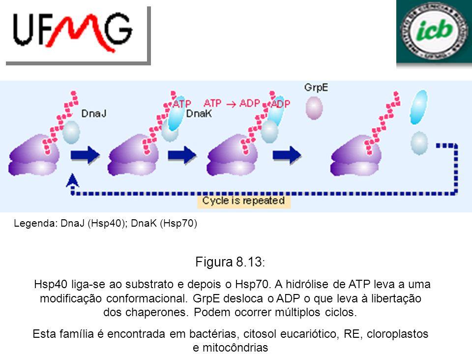 Figura 8.13 : Hsp40 liga-se ao substrato e depois o Hsp70. A hidrólise de ATP leva a uma modificação conformacional. GrpE desloca o ADP o que leva à l
