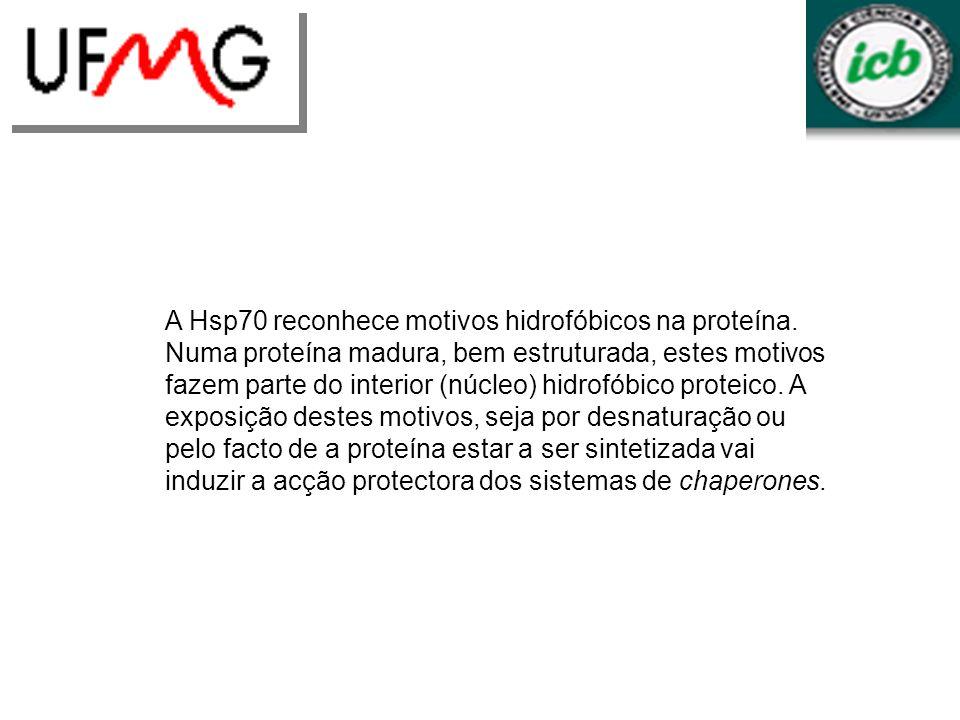 A Hsp70 reconhece motivos hidrofóbicos na proteína. Numa proteína madura, bem estruturada, estes motivos fazem parte do interior (núcleo) hidrofóbico