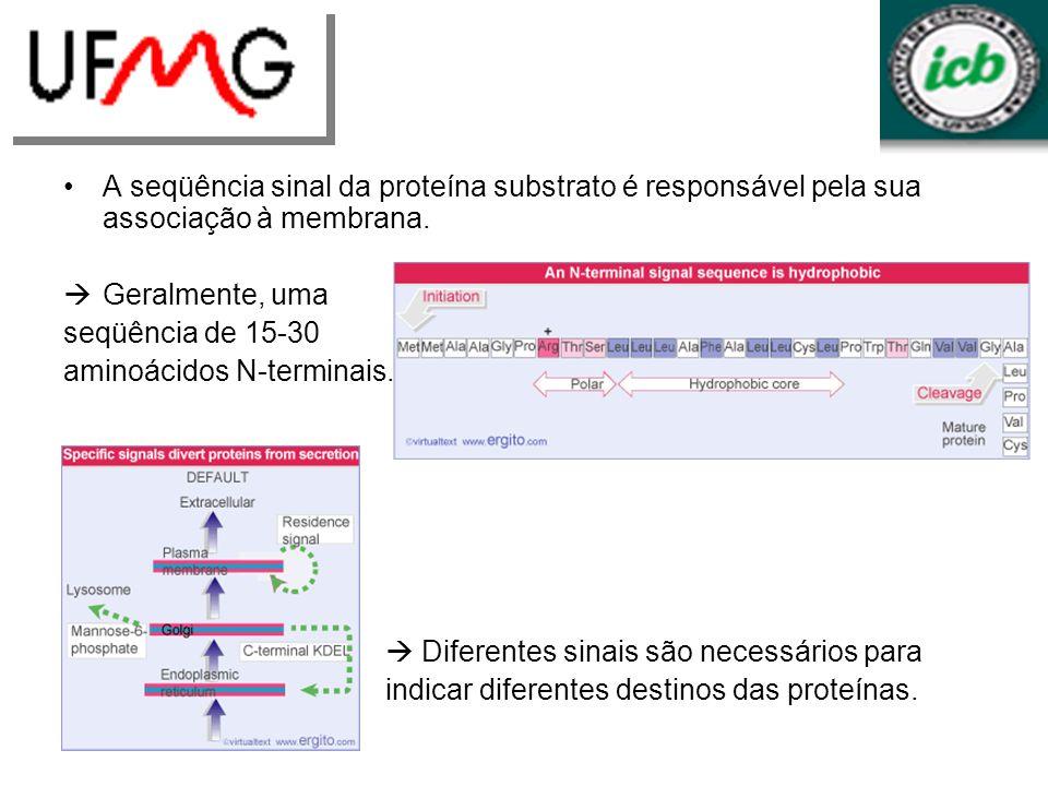 A seqüência sinal da proteína substrato é responsável pela sua associação à membrana. Geralmente, uma seqüência de 15-30 aminoácidos N-terminais. Dife