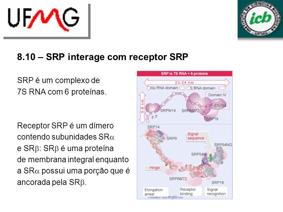 8.10 – SRP interage com receptor SRP SRP é um complexo de 7S RNA com 6 proteínas. Receptor SRP é um dímero contendo subunidades SR e SR : SR é uma pro
