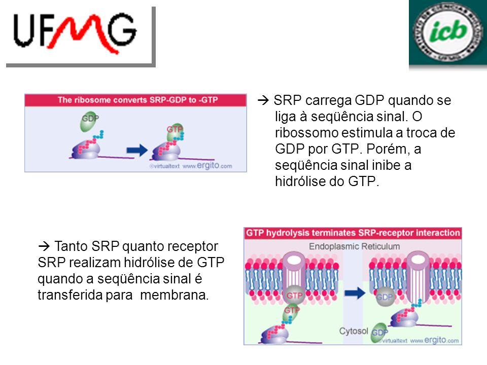 SRP carrega GDP quando se liga à seqüência sinal. O ribossomo estimula a troca de GDP por GTP. Porém, a seqüência sinal inibe a hidrólise do GTP. Tant
