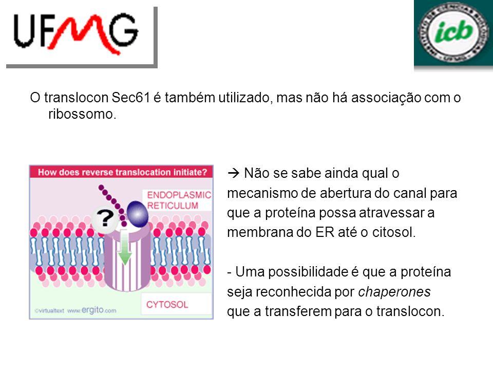 O translocon Sec61 é também utilizado, mas não há associação com o ribossomo. Não se sabe ainda qual o mecanismo de abertura do canal para que a prote