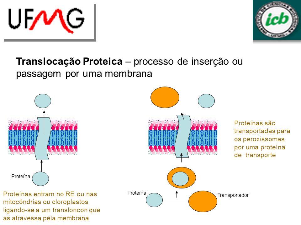 Translocação Proteica – processo de inserção ou passagem por uma membrana Proteína Proteínas entram no RE ou nas mitocôndrias ou cloroplastos ligando-