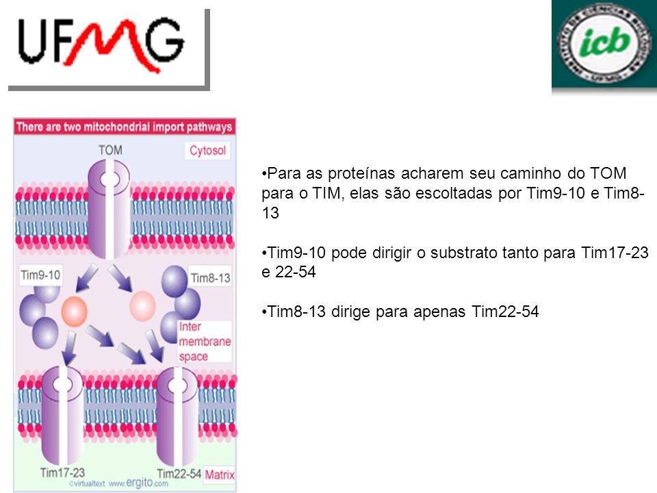 Para as proteínas acharem seu caminho do TOM para o TIM, elas são escoltadas por Tim9-10 e Tim8- 13 Tim9-10 pode dirigir o substrato tanto para Tim17-