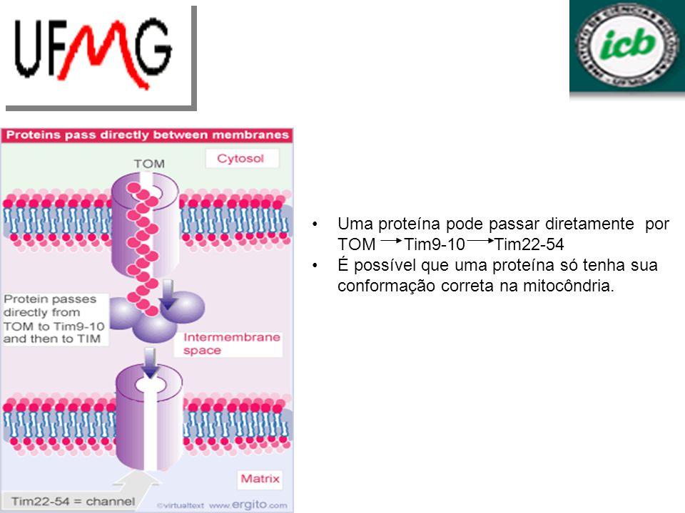 Uma proteína pode passar diretamente por TOM Tim9-10 Tim22-54 É possível que uma proteína só tenha sua conformação correta na mitocôndria.