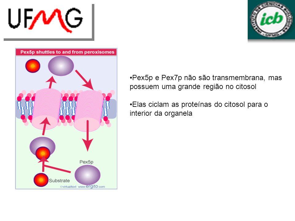 Pex5p e Pex7p não são transmembrana, mas possuem uma grande região no citosol Elas ciclam as proteínas do citosol para o interior da organela