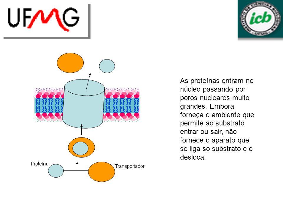Proteína Transportador As proteínas entram no núcleo passando por poros nucleares muito grandes. Embora forneça o ambiente que permite ao substrato en