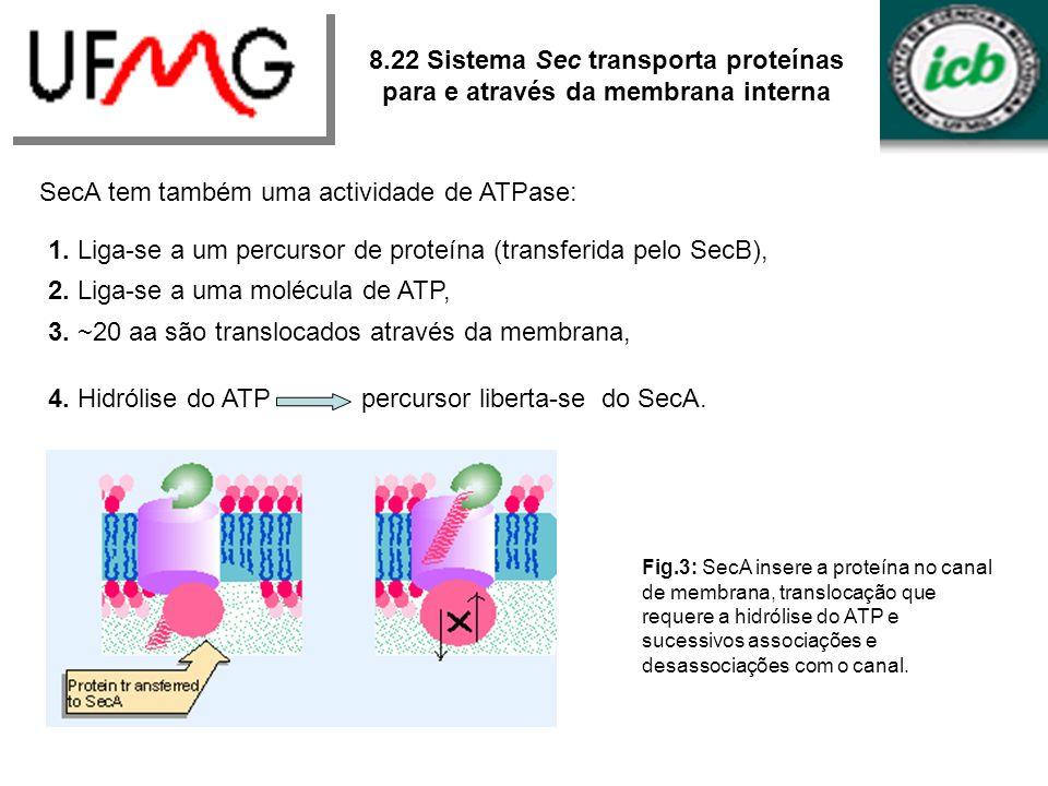 SecA tem também uma actividade de ATPase: 1. Liga-se a um percursor de proteína (transferida pelo SecB), 2. Liga-se a uma molécula de ATP, 3. ~20 aa s