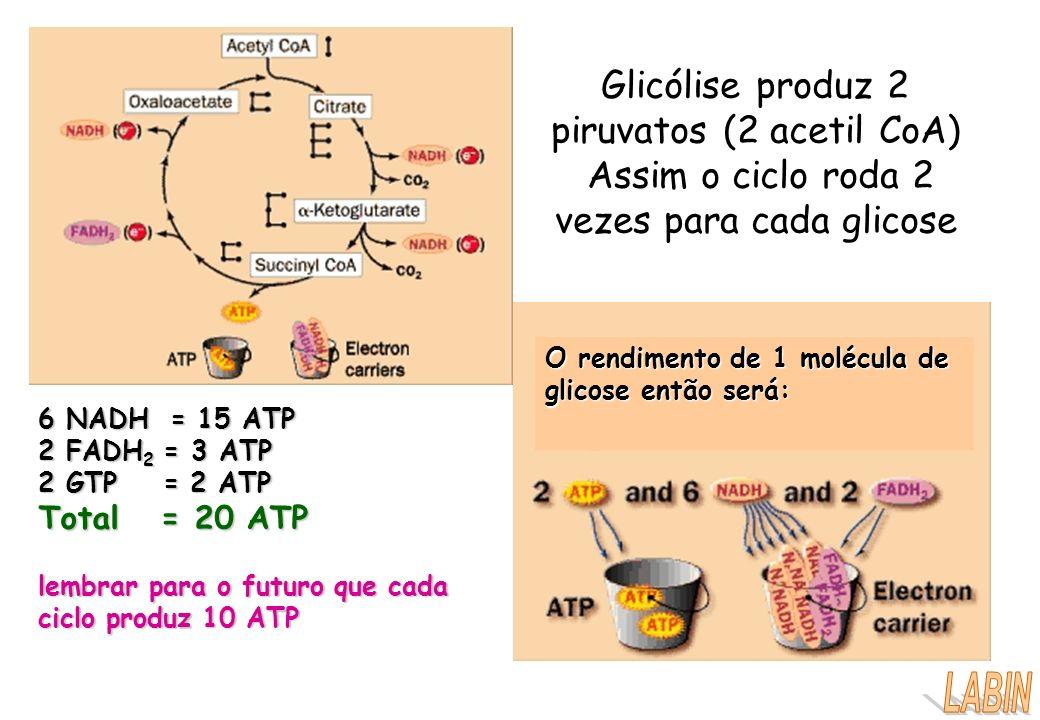 Glicólise produz 2 piruvatos (2 acetil CoA) Assim o ciclo roda 2 vezes para cada glicose O rendimento de 1 molécula de glicose então será: 6 NADH = 15