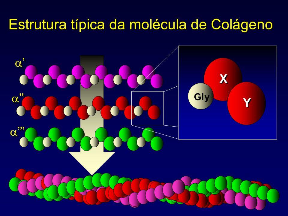 Gly X X Y Y Estrutura típica da molécula de Colágeno