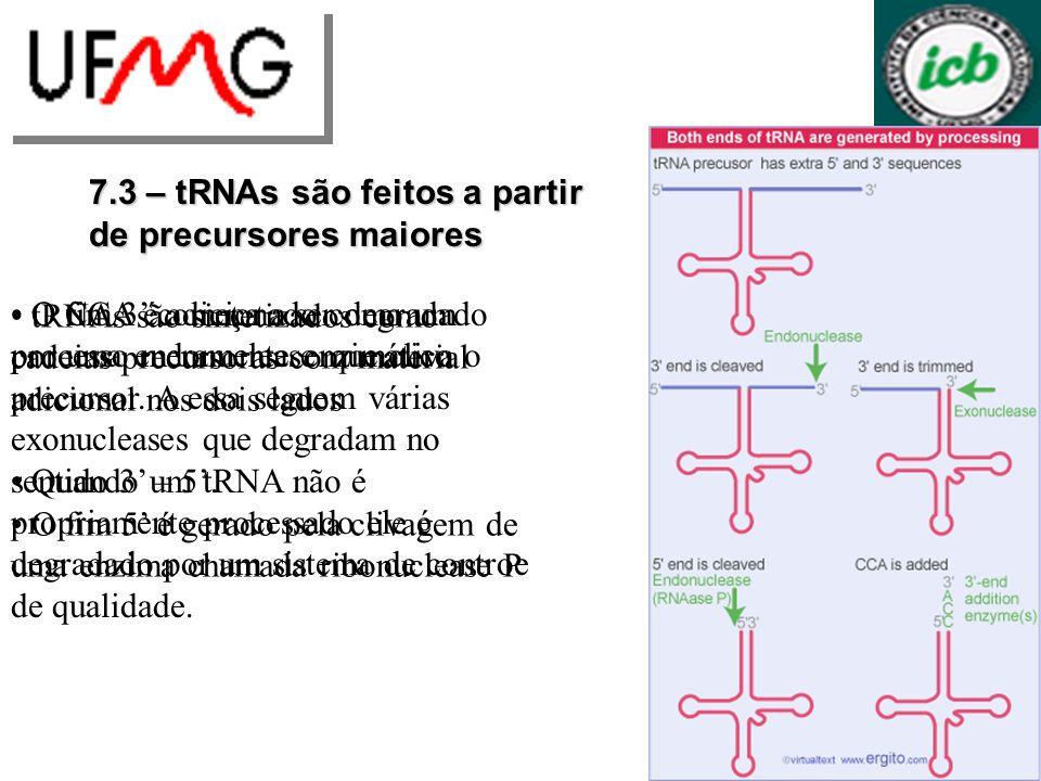 7.3 – tRNAs são feitos a partir de precursores maiores tRNAs são sintetizados como cadeias precursoras com material adicional nos dois lados O fim 5 é gerado pela clivagem de uma enzima chamada ribonuclease P O fim 3 começa a ser degradado por uma endonuclease que cliva o precursor.