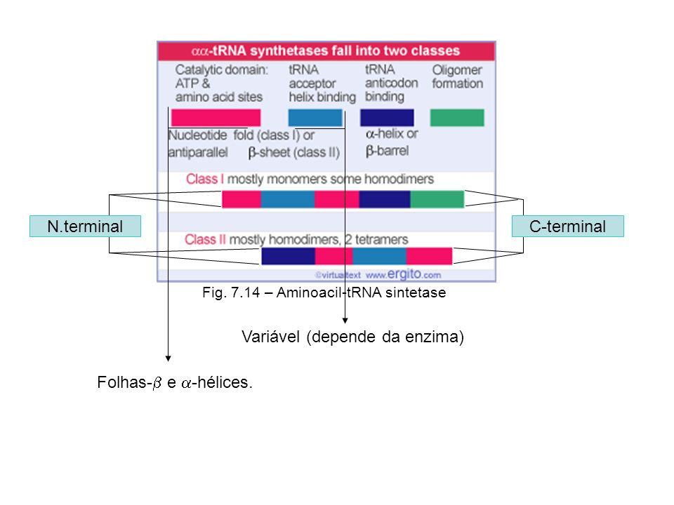 Variável (depende da enzima) N.terminal C-terminal Folhas- e -hélices. Fig. 7.14 – Aminoacil-tRNA sintetase