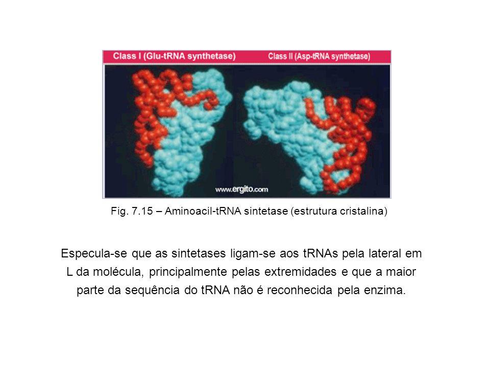 Especula-se que as sintetases ligam-se aos tRNAs pela lateral em L da molécula, principalmente pelas extremidades e que a maior parte da sequência do tRNA não é reconhecida pela enzima.