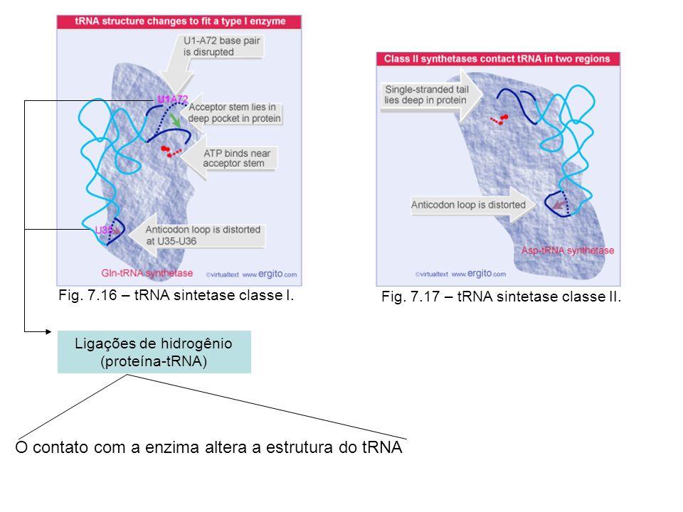 Fig. 7.16 – tRNA sintetase classe I. Fig. 7.17 – tRNA sintetase classe II. Ligações de hidrogênio (proteína-tRNA) O contato com a enzima altera a estr