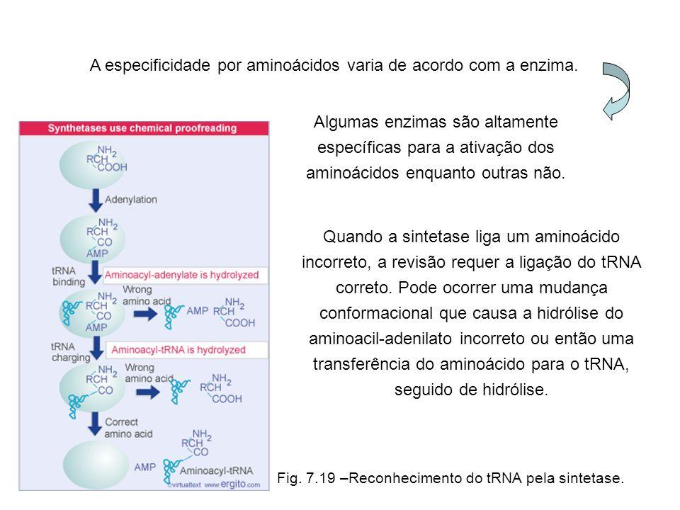 Fig. 7.19 –Reconhecimento do tRNA pela sintetase. A especificidade por aminoácidos varia de acordo com a enzima. Algumas enzimas são altamente específ