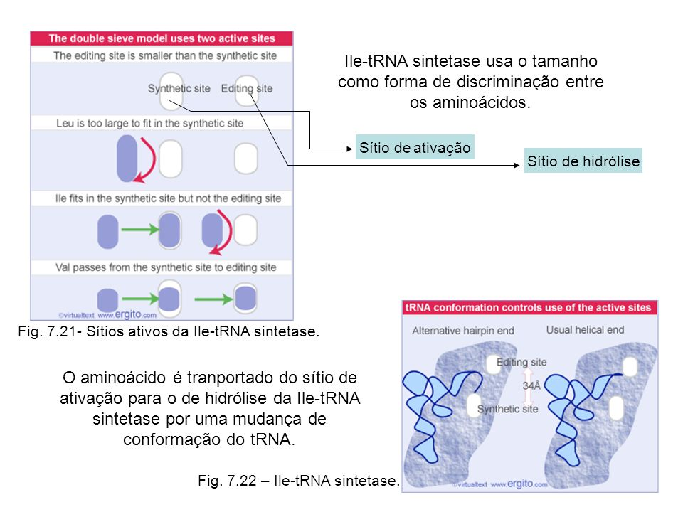 Fig. 7.21- Sítios ativos da Ile-tRNA sintetase. Fig. 7.22 – Ile-tRNA sintetase. Ile-tRNA sintetase usa o tamanho como forma de discriminação entre os