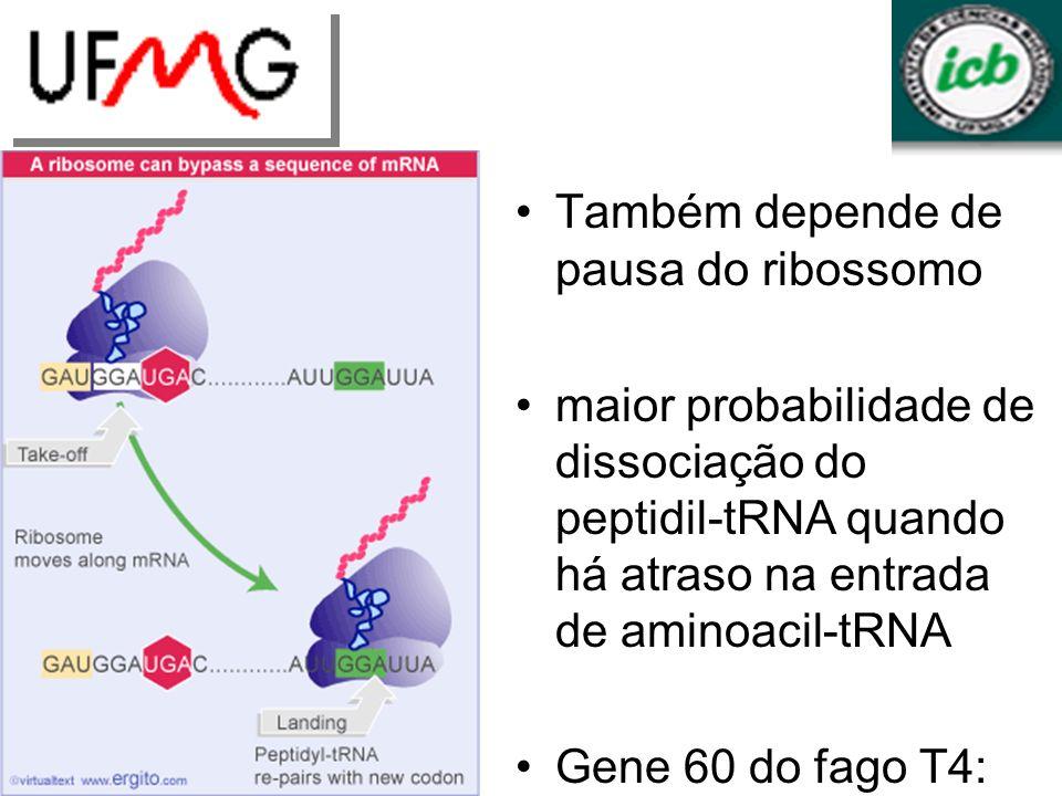 Também depende de pausa do ribossomo maior probabilidade de dissociação do peptidil-tRNA quando há atraso na entrada de aminoacil-tRNA Gene 60 do fago T4: estrutura do mRNA reduz eficiência da terminação