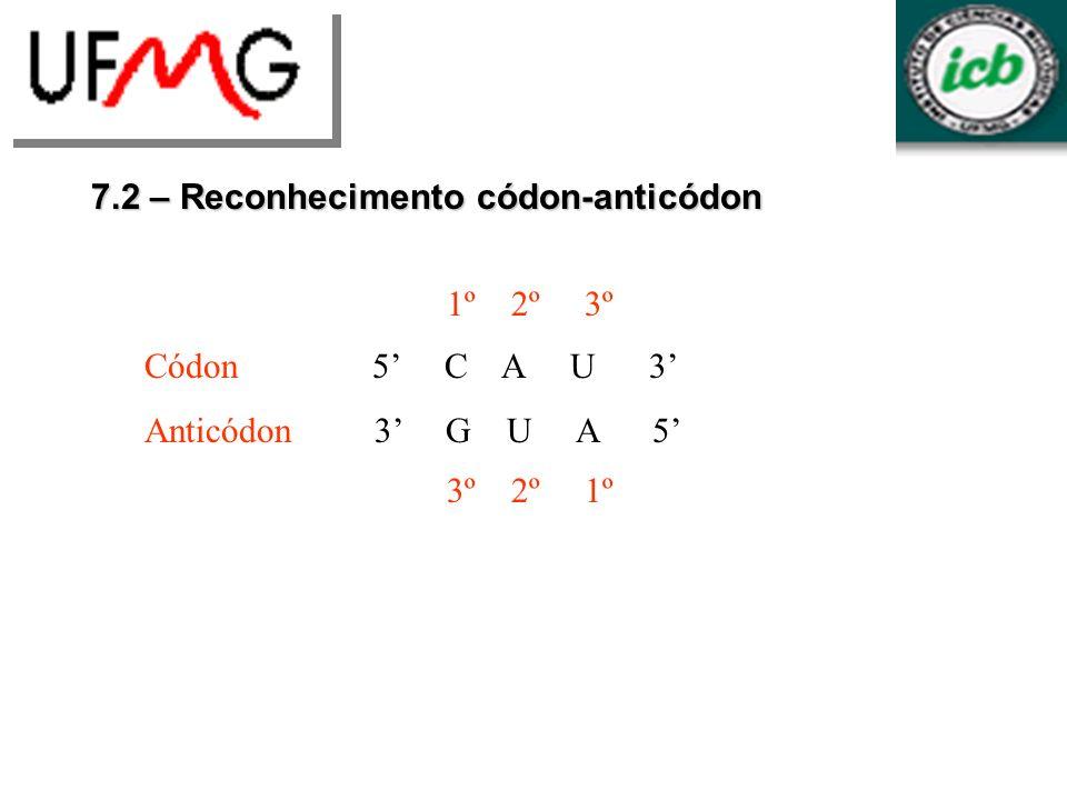 7.2 – Reconhecimento códon-anticódon Normalmente um tRNA reconhece mais de um códon A base na primeira posição do anticódon pode parear com mais de uma base Isso é chamado de wobbling, e ocorre porque a conformação do arco do anticódon dá flexibilidade à primeira base do anticódon
