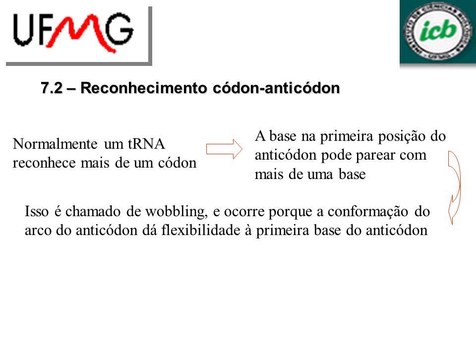 7.2 – Reconhecimento códon-anticódon Normalmente um tRNA reconhece mais de um códon A base na primeira posição do anticódon pode parear com mais de um