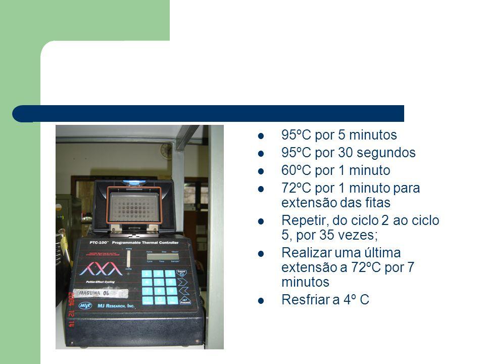 95ºC por 5 minutos 95ºC por 30 segundos 60ºC por 1 minuto 72ºC por 1 minuto para extensão das fitas Repetir, do ciclo 2 ao ciclo 5, por 35 vezes; Real