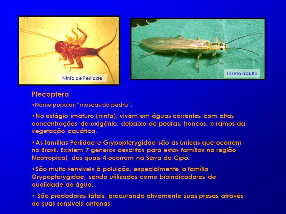 Plecoptera Nome popular: moscas da pedra. No estágio imaturo (ninfa), vivem em águas correntes com altas concentrações de oxigênio, debaixo de pedras,